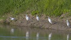 Little Egrets (Egretta garzetta) (Panayotis1) Tags: birds canon aves greece animalia ardeidae littleegret egrettagarzetta ciconiiformes chordata canonef400mmf56lusm imathia    66 tafros66 kenkopro300afdgx14x