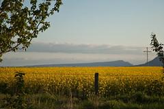 the country side (Fjola Dogg) Tags: summer nature yellow canon iceland islandia sumar ísland 2012 gulur gult 50d hrunamannahreppur canon50d fjoladogg fjóladögg