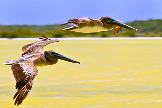Pelicans flying in pairs on a yellow coloured lagoon
