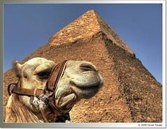 Camel dreams (www.xavierfargas.com) Tags: naturaleza nature animals fauna mammal pyramid egypt dromedary panasonic camel animales egipto giza hdr camello pirmide gizeh dromedario photomatix kefren ph205 5photosaday ar1 1xp xfp khafrespyramid dmcfz50 lumixdmcfz50 amazingamateur platinumheartaward flickrestrellas quarzoespecial photoexel p1100540 wishitookthat vosplusbellesphotos awchosenone xavierfargas