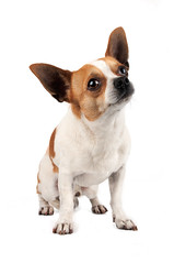 Chihuahua looking up (Francis Jimnez Meca) Tags: boy portrait dog pet white chihuahua cute male face animal tongue ball puppy studio mammal miniature team mutt mixed eyes furry friend funny close little body head background tail small young adorable ears canine mini mexican spanish deerhead tiny friendly doggy pup paws breed isolated drooling growling purebred applehead purebreed