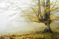 Lonely beech with fog (Mimadeo) Tags: park wood morning autumn trees light orange mist color tree fall nature wet beautiful leaves yellow misty fog mystery forest season landscape leaf haze colorful mood alone branch vibrant seasonal foggy vivid mysterious trunk lonely unreal hazy solitary idyllic beech