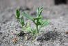 (Eva Sandbothe) Tags: green bed grün beet pea offspring erbse sprössling
