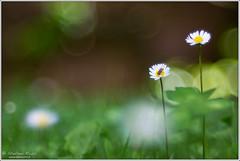 Playing... (Stefano Rossi Photography) Tags: flower verde green garden fiore prato margherita giardino saisy