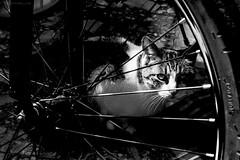 Gato en la espesura (Javier Armas) Tags: white black blanco bike cat negro bicicleta gato contraste bici alto