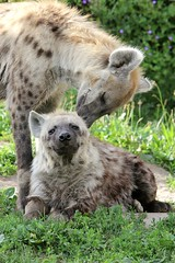 Hyena affection (zoofanatic) Tags: zoo osnabrck hyena balai badu spottedhyena