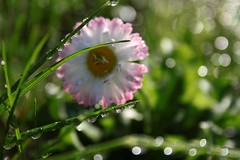 The glittering world of drops.   ( in Explore) (halina.reshetova) Tags: pink plants white flower macro reflection green nature water grass glitter canon drops spring may drop reflect droplet blob shining waterdroplets sparkling springtime glisten glittering shiningwater canoneos1000d 180613 glitteringdrops