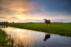red cow by river at sunset (Olha Rohulya) Tags: blue sunset summer sky cloud sun sunlight holland reflection green nature water netherlands dutch field grass sunshine animal yellow rural river season landscape countryside cow canal scenery shine view cattle sundown bright farm horizon seasonal scenic meadow nopeople surface calm bull farmland domestic reflect pasture groningen pastoral plain farmanimal tranquil