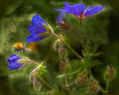 Light Rain (Explored) (pollylew) Tags: light garden bee textures vignette cranesbills geraniummagnificum