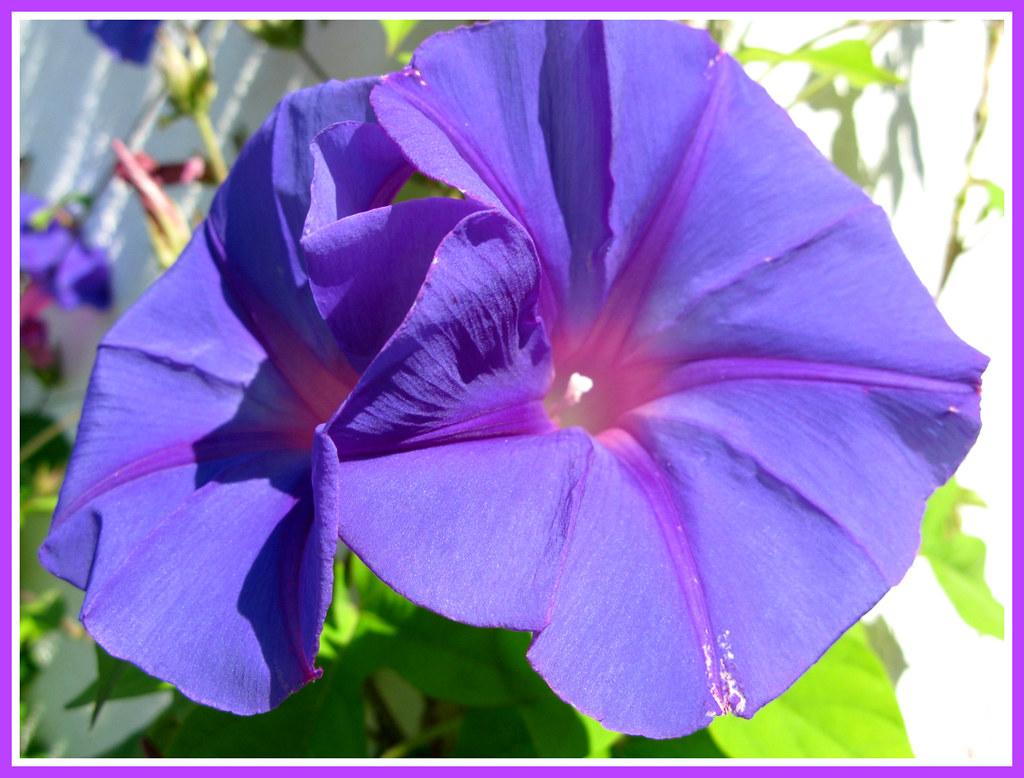 The worlds best photos of prunkwinden flickr hive mind ipomoea learii blue dawn flower prunkwinde marlis1 tags morningglory finca prunkwinden izmirmasajfo