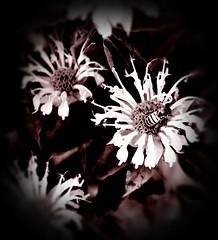 Flowers (Adventurer Dustin Holmes) Tags: flowers bees bee honeybee