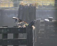 3532_Family Time (lg evans) Tags: fish heron fly adult perch locks osprey fledge lgevans