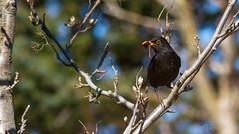 Svartrstur / Black Bird / Turdur Merula (Jonas Ottos) Tags: trees green birds animals spring branch turdusmerula blackbird akranes svartrstur canoneos7d canonef300mmf4usmlis