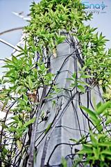 IMG_8250.jpg (Mr. Snap Photography) Tags: bridge blue trees light detail green art architecture married misc fine atmosphere vine structure beam column shrub fixture beams miscelleneous ststue piller scult