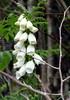 White Foxglove (Nigel_Brown) Tags: uk greatbritain lumix scotland unitedkingdom panasonic islay gb stockphoto 2013 nigelbrown dmctz8 tz8