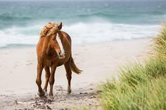 Down the Beach (jeff_a_goldberg) Tags: horse canada novascotia nationalgeographic wildhorse parkscanada sableisland feralhorse fishermansharbour sableislandhorse sableislandpony sableislandnationalparkreserve