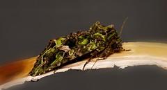 De noche todos los gatos son pardos.............. (T.I.T.A.) Tags: macro moth noctuidae mariposa tita bolboreta polilla mariposanocturna lepidóptera valeriajaspidea carmensolla carmensollafotografía carmensollaimágenes