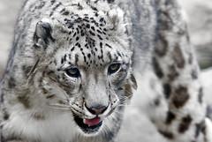 Before the attack... (Osdu) Tags: portrait nature animal wildlife leopard snowleopard pantherauncia simplysuperb bestcapturesaoi