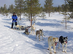 Visit a husky farm and 30 min safari (Lapland Welcome) Tags: winter wild snow finland husky rovaniemi huskies lapland wilderness sleigh sleighride winterlandscape huskydog snowyforest wintertimeinlapland huskysleigh laplandwelcome huskysleighrideinlapland huskydogsleighride dogsleighinrovaniemi