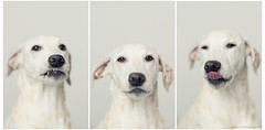Blancas Faces (Bea Burin-Herbst | Fotografie) Tags: portrait dog pet pets dogs blanca hund dalmatian hunde dalmatiner petphotography hndin tierfotografie petphotographer haustierfotografie burinherbstphotography
