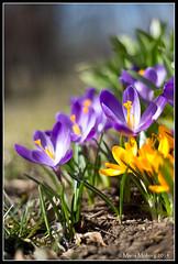 Crocus (mmoborg) Tags: flowers spring sweden sverige blommor vår mmoborg