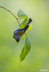 northern-parula (Corey Hayes) Tags: blue ohio wild male nature spring wildlife warbler songbird zaleskistateforest wildlifephotography coreyhayes