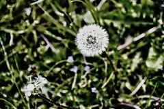 Pusteblumen (rollirob) Tags: nikon wiese blumen verblht lwenzahn pusteblumen unkraut nikond800 bltten