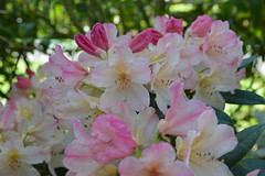 Percy Wiseman (David A's Photos) Tags: flowers bc columbia convention british ars sidney rhododendrons 2015 rhodies percywiseman may2015