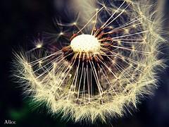 Make a wish.. (♠Alice♠) Tags: flower macro primavera nature spring fuji crossprocess natura wish fiori macrophotography makeawish desiderio springnature