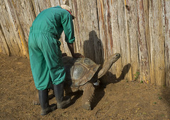 Ranger Taking Care Of A Turtle At The Mount Kenya Animal Orphanage, Laikipia County, Mount Kenya, Kenya (Eric Lafforgue) Tags: africa people man nature animal horizontal outdoors photography zoo day adult kenya turtle reptile wildlife fulllength biology protection rangers adultsonly oneperson zoology veterinary kenyan eastafrica animalsinthewild mountkenya oneanimal colorimage onemanonly colourimage 1people colourpicture animalshell dsc05028 laikipiacounty