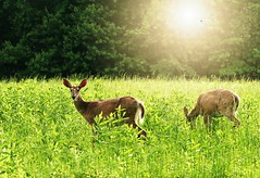 My Deer Friends (floralgal) Tags: nature animals doe deer ryenewyork newyorklandscape westchestercountynewyork marshlandsconservancyryenewyork