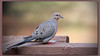 Mourning Dove (I) (gtncats) Tags: nature birds outside outdoors peace dove mourningdove potofgold ef70300mm canon70d photographyforrecreation infinitexposure