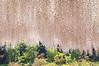 CURTAIN DOWN (ajpscs) Tags: japan japanese tokyo spring nikon 日本 nippon 東京 wisteria tochigi d300 springflower はる ashikaga 藤 seasonchange ニコン ashikagaflowerpark ajpscs あしかがフラワーパーク 栃木県足利市 fujiflowers curtaindown palepinkwisteria wisteriafall