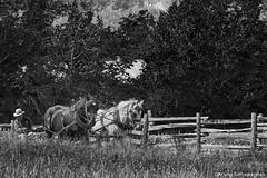 Horses at work -1 (digithief) Tags: blackandwhite horse ontario nikon milton plough d800 countryheritage percheron