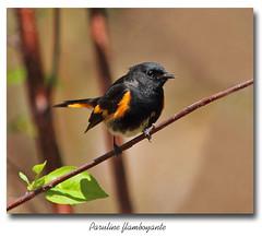 Paruline flamboyante / American Redstart IMG_1233 (salmo52) Tags: birds oiseaux americanredstart setophagaruticilla shawinigan parulineflamboyante salmo52 alaincharette