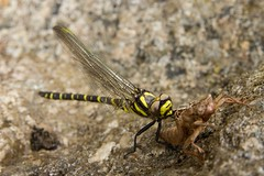 Golden Ringed Dragonfly emerging from its larval shell. (Photoman152) Tags: dragonfly birth devon emerging nymph dartmoor metamorphosis