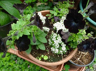 Black petunias and other small plants