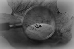 ...eppur ci sono (Marano Marco) Tags: marano maranomarco lente ottica lens lumaca foglia snail optics lenteingrandimento