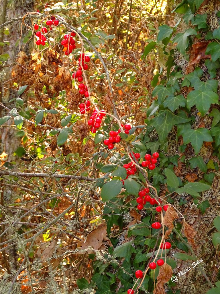 Águas Frias (Chaves) - ... bagas vermelhas ...