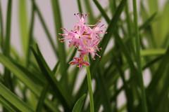 Scilla scilloides    (ashitaka-f) Tags: flower pink scilla scilloides   liliaceae  asparagaceae