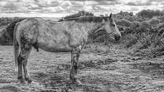 Grey Stallion in Monochrome (Jay-Aitch) Tags: grey stallion equine lumix g vario 14140f3556 panasonic gx8