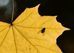 Leaf and Fly (John_E1) Tags: backlit macromondays fly leaf