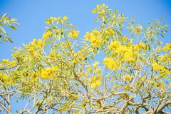 南半球の春 (argonium2015) Tags: オーストラリア ブリスベン australia brisbane 澳大利亚 布里斯班
