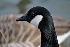 Canadian Goose (Glenn Pye) Tags: canadiangeese geese goose canadiangoose birds bird wildlife nature nikon nikond3000 d3000