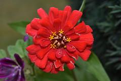 Zinnia, des fleurs dans la fleur/flowers in flower ! (TICHAT10) Tags: france fleurs rouge zinnia zinniaelegans closeup jachre coth champagneardenne coth5 alittlebeauty