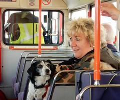 Dog on 887 (deltrems) Tags: routemaster rm pet dog london interior blackpool lancashire fylde coast catch22