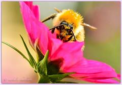 profiter encore ! / Taking advantage of the last flowers ! (www.nathalie-chatelain-images.ch) Tags: fleurs flowers cosmos rose magenta bourdon bumblebee macro nikon