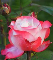 I wish all my dear flickr friends a colourful weekend! (sabrina. G) Tags: rose zweifarbig makro garten farbig herbst