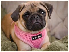 Puppy Love! (jiroseM43) Tags: pug puppy pets dogs panasonic gx7 35100mm lumix