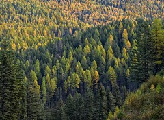 Tamaracks (Philip Kuntz) Tags: tamaracks larches larixlaricina deciduousconifers thompsonpass idaho
